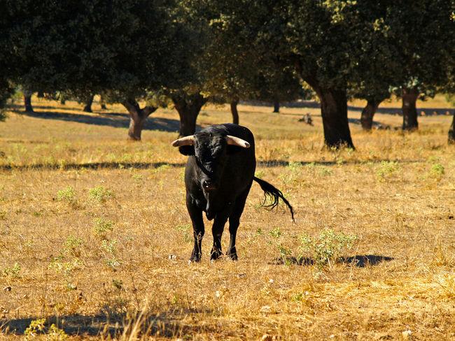 Animal Themes Bull Bullfighting Cow Cows Danger Dangerous Dangerous Animals Day Dehesa Environment Mammal Nature Nature No People Outdoors Power Powerful Quercus Quercus Ilex Toro Toros Wild Wildlife