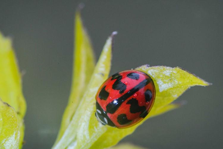 六條瓢蟲 Ladybug