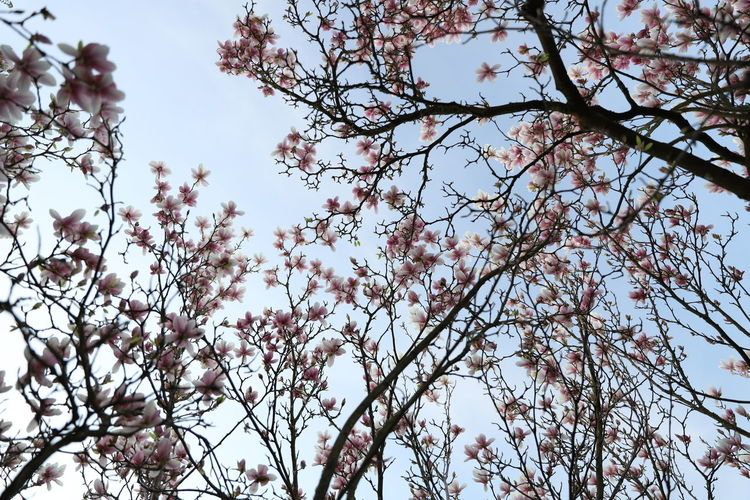 magnolia, Tulpenbaum Magnolia Magnolia Tree Tulpenbaum Beauty In Nature Blossom Branch Cherry Blossom Clear Sky Day Flower Flowering Plant Fragility Freshness Growth Low Angle View Nature No People Outdoors Plant Sky Spring Springtime Tranquility Tree Vulnerability