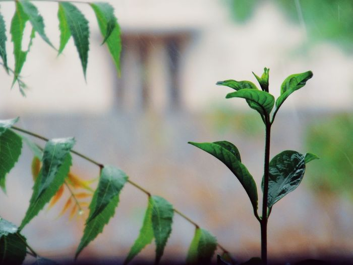 Stem with some Rain drops Neem Tree Stem Raindrops Rain No People Nature Photography Naturelovers Houseplant Jasmine Plants