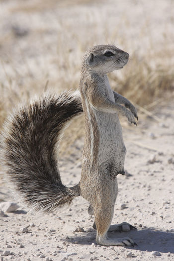 Full Length Side View Of Mongoose Standing On Field