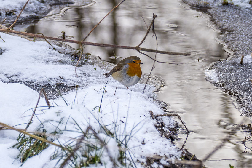 Animal Themes Animal Wildlife Animals In The Wild Beauty In Nature Bird Cold Temperature Nature One Animal Outdoors Snow Weather Winter