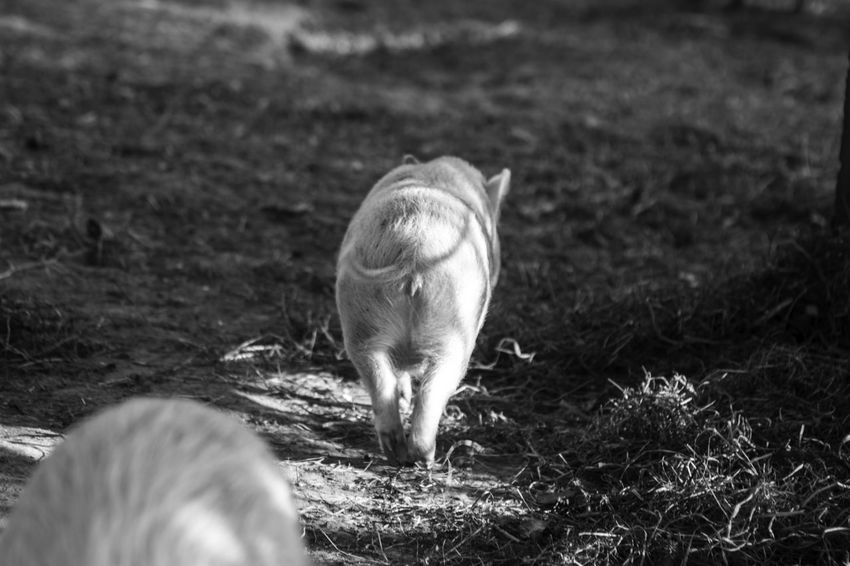 pigs on a farm Animal Mammal Animal Themes Vertebrate Land Field Animal Wildlife One Animal Domestic Animals Nature Day No People Livestock Young Animal Selective Focus Animals In The Wild Pets Domestic Outdoors Grazing Fawn Herbivorous