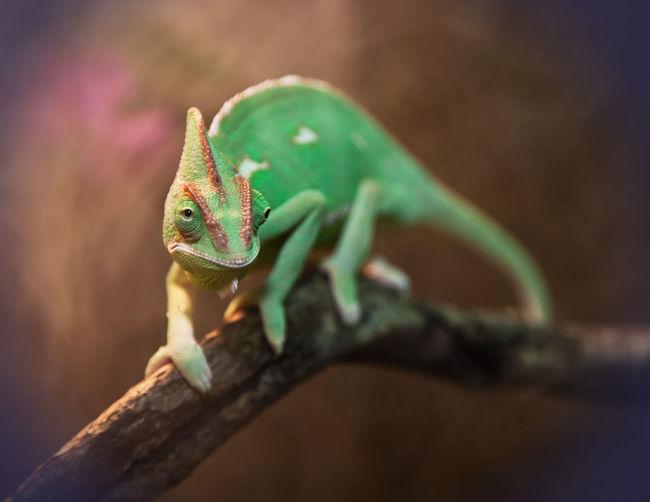 Veiled chameleon on tree branch