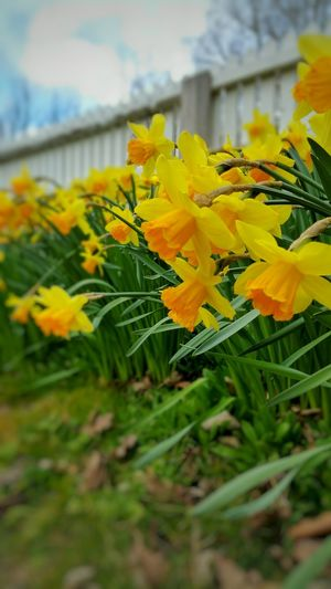 Daffodil Daffodils Near And Far Outside Photography Samsung Galaxy Note 4 Spring Flowers Spring Yellow Yellow Flowers Blue Sky White Picket Fences Westgate Fields Flower Display Easter