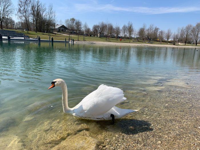 Swan Water Swan