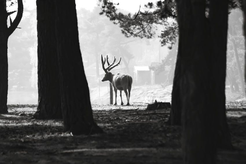 Blackandwhite Beauty In Nature Nature Tree Trees Forest Wildlife Zoo Beekse Bergen Tree Stag Silhouette Sky Deer Horned Moose Foggy Livestock