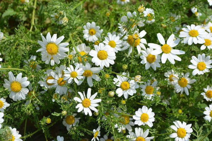 Beauty In Nature Blooming Close-up Daisy Day Field Flower Flower Head Fragility Freshness Growth Nature No People Outdoors Petal Plant Springtime White Color Yellow Pet Portraits