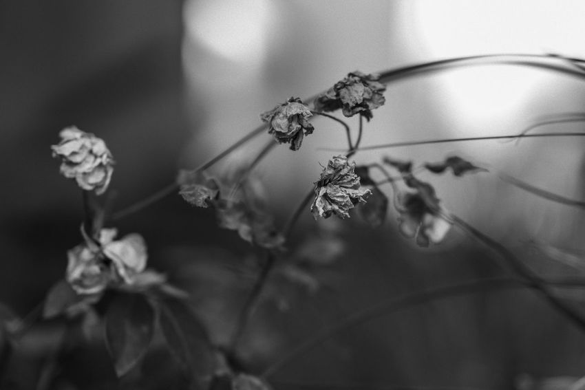 Dried not died Close-up Flower Flowering Plant Nature Plant Growth No People Fragility Petal Beauty In Nature