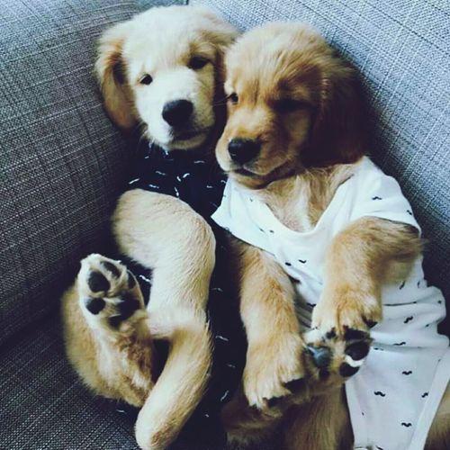🐶 Pets Animal Golden Retriever Puppy