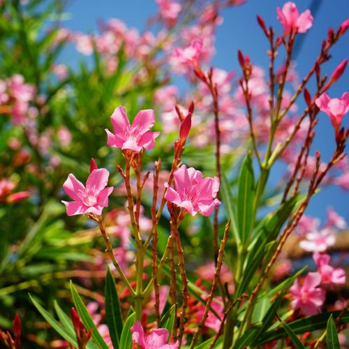 Flowering Plant Pink Color Flower Plant Petal Freshness Growth Vulnerability  Fragility Beauty In Nature Close-up Inflorescence Flower Head Day No People Nature Focus On Foreground Outdoors Sunlight Field