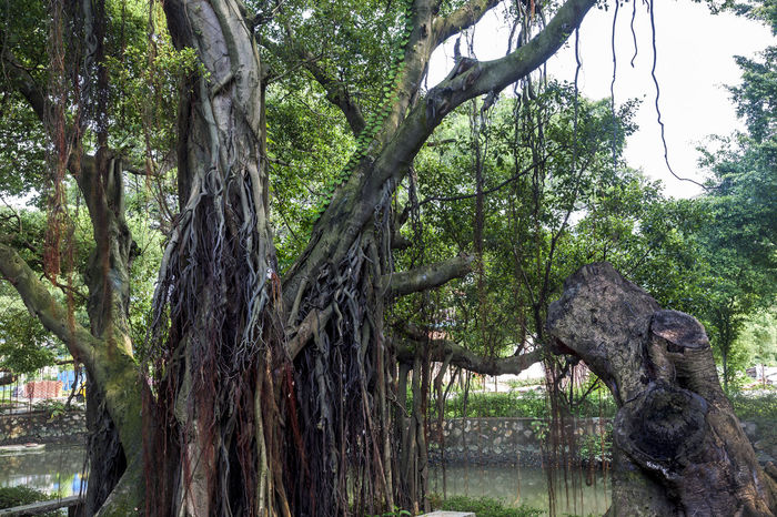 Banyan tree Roots Banyan Roots Banyan Banyan Tree Roots Banyan Tree Trunk Banyantree Beauty In Nature Branch Day Growth Nature No People Outdoors Tree Tree Trunk