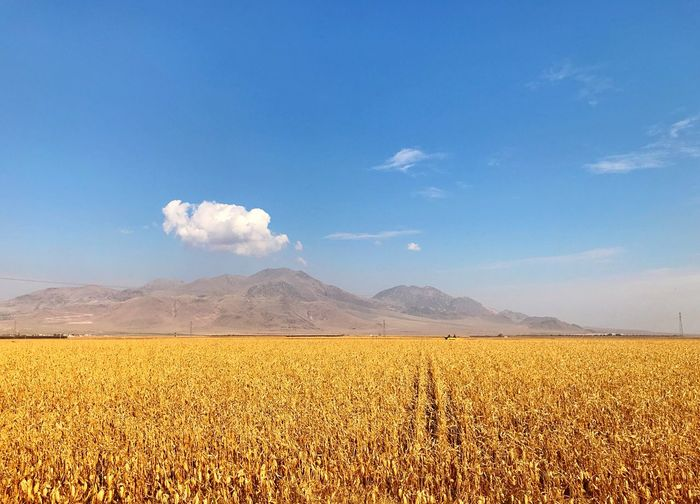 corn field Sky Landscape Scenics - Nature Environment Land Beauty In Nature Tranquility Mountain Blue Tranquil Scene Nature No People Cloud - Sky Day Non-urban Scene Agriculture Mountain Range Field Plant Outdoors