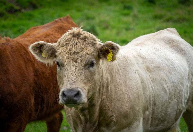 Daft Cow