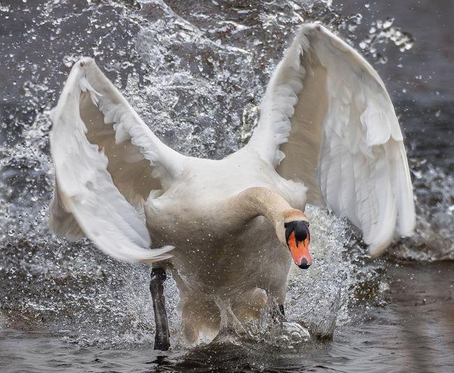 Mute swan defending its territory