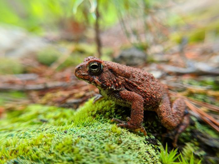 Toad Uwharrie Mountains Red Fowlers Toad American Toad Iguana Camouflage
