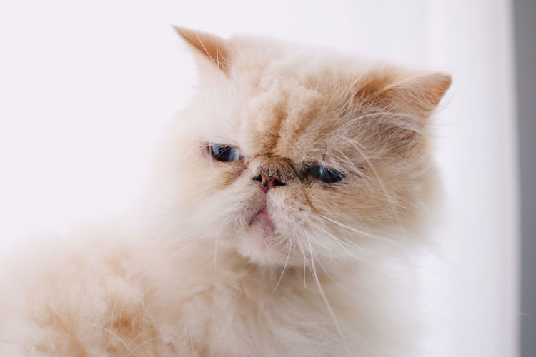 Cat Domestic Animals Pets Domestic Animal Animal Themes Mammal Persian Cat  Domestic Cat One Animal Cat Feline Indoors  White Color Close-up Vertebrate Looking No People Facial Expression Looking Away Portrait Whisker