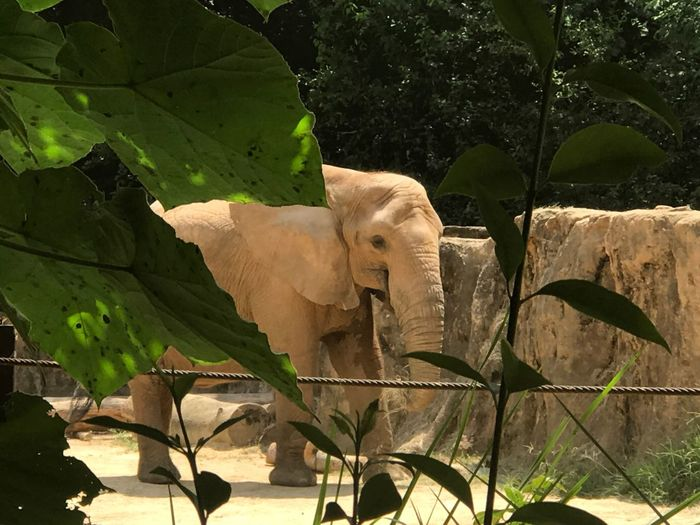 Elephant Mammal Animal Themes Tree Outdoors Nature No People One Animal Day Plant Leaf Growth Animal Trunk African Elephant