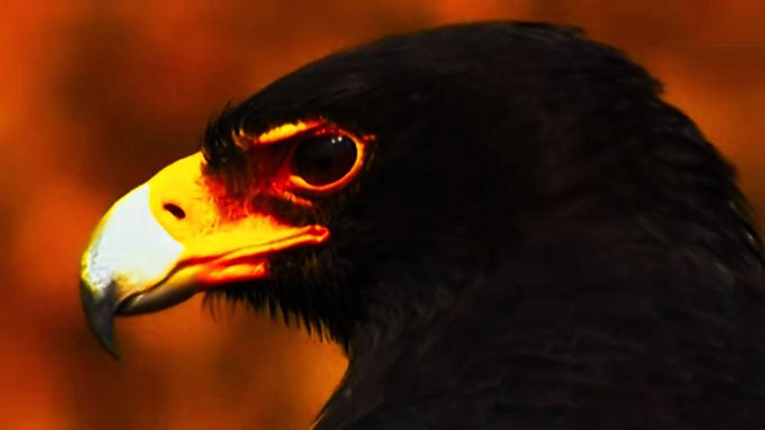 Black Eagle Eagle Bird Black Eye Eagle Tajam Sorot Mata Eagle Portrait Eagle - Bird Bird Of Prey Bird Hornbill Vulture Beak Portrait Black Color Red Eye Close-up