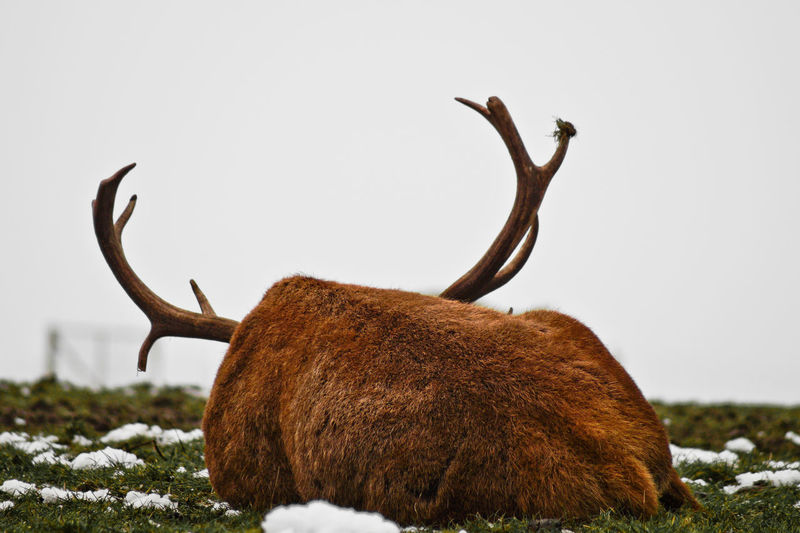 Always Be Cozy Animal Animal Themes Animal Wildlife Animals In The Wild Antler Day Enjoy The New Normal Mammal My Year My View Nature No People One Animal Outdoors Sky Stag