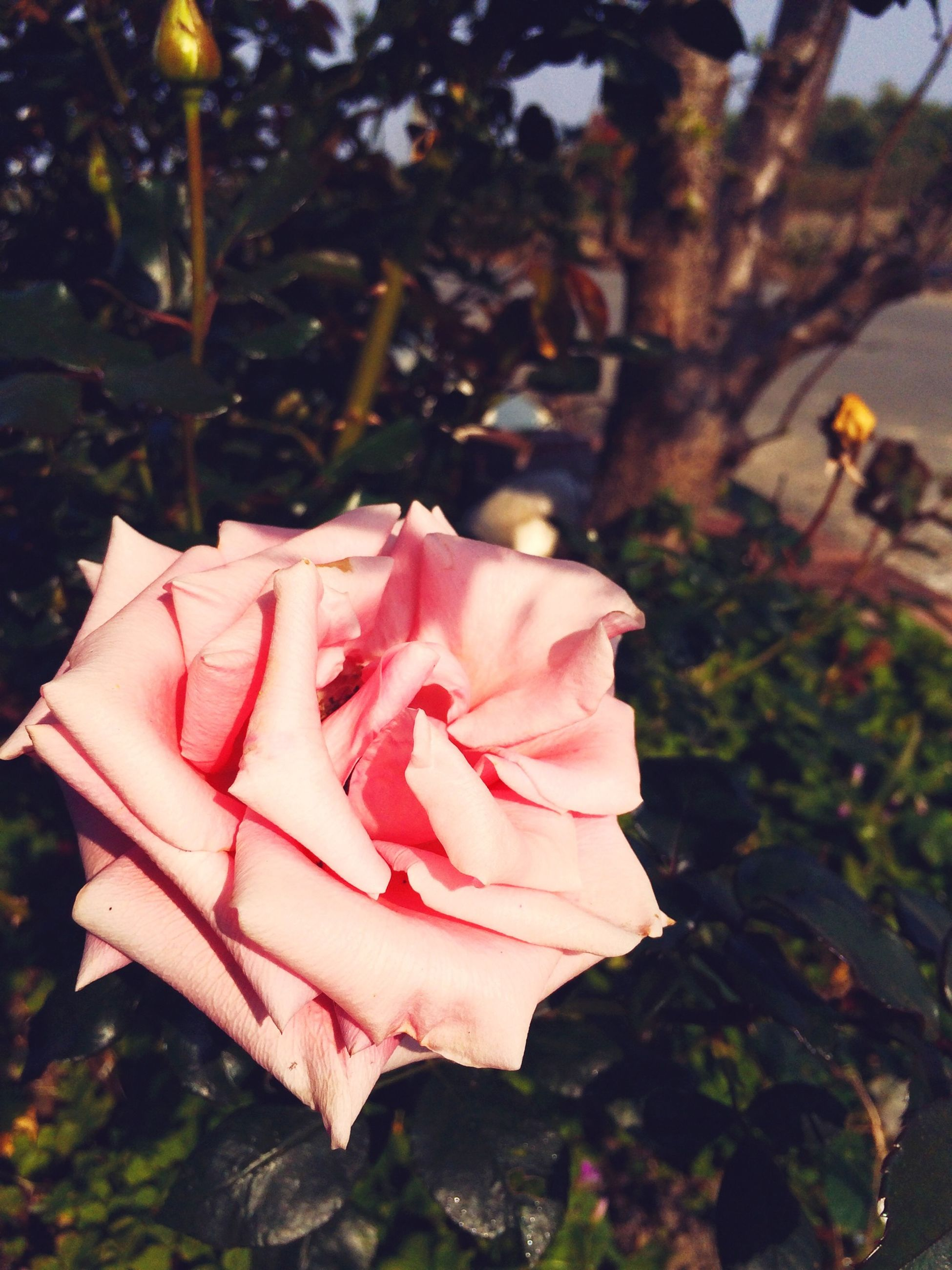 petal, rose - flower, flower, fragility, flower head, freshness, close-up, focus on foreground, growth, pink color, beauty in nature, nature, leaf, single flower, rose, blooming, plant, outdoors, day, pink