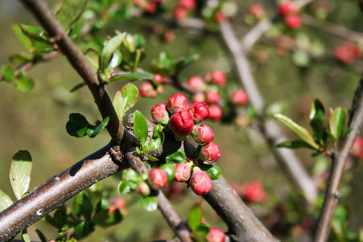 Blossom Blossoms  Branch Bush Chaenomeles Japonica Focus On Foreground Growing Leaves Maule's Quince Nature No People Red Spring
