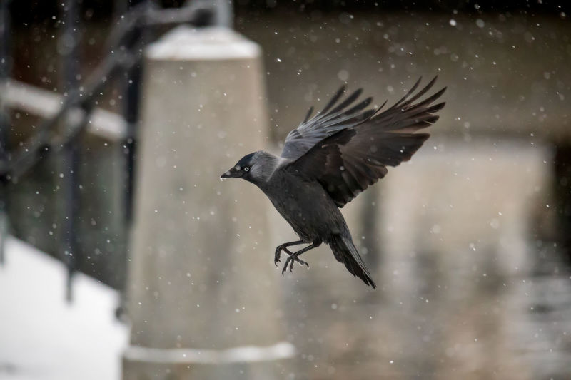 Jackdaw crow in heavy snowfall Animal Themes One Animal Animal Animals In The Wild Animal Wildlife Vertebrate Snowing Bird Focus On Foreground Nature No People Day Jackdaw Crow Water Snow Cold Temperature Winter Mid-air Flying In Flight
