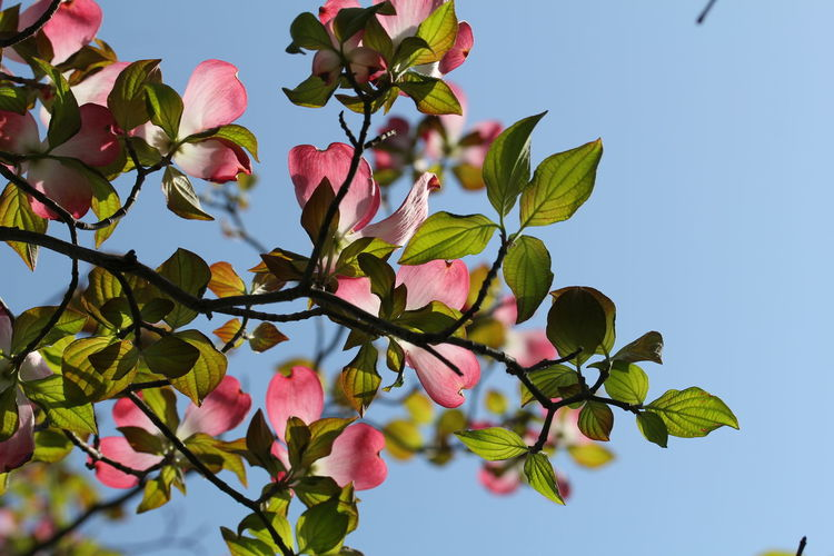 Tree Leaf Branch Flower Growth Sky Beauty In Nature Nature No People Fruit Outdoors Day Plant Pink Color Freshness Low Angle View Blue Close-up Food Flower Head