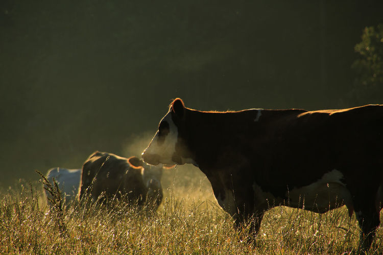 Cows On Grassy Field At Sunrise