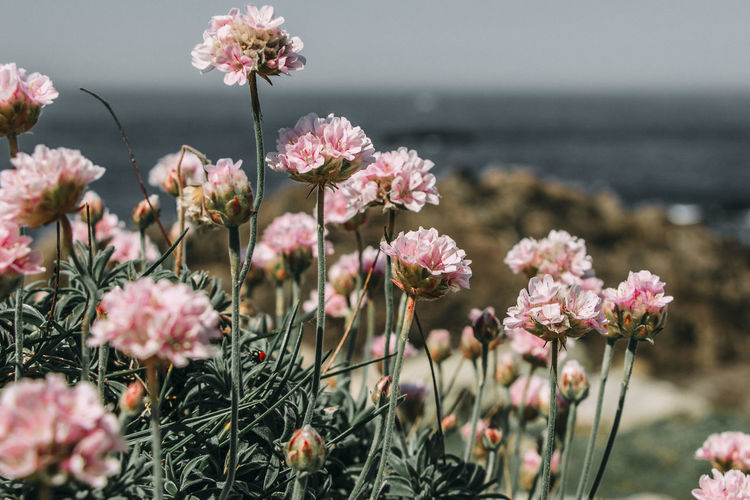 Death coast. Beauty In Nature Blooming Calm Close-up Day Details Of Nature Flower Flower Head Fragility Freshness Galicia Galifornia Growth Horizon Over Water Landscape Nature No People Outdoors Paisaje Petal Pink Color Plant Rocks Sky Texture