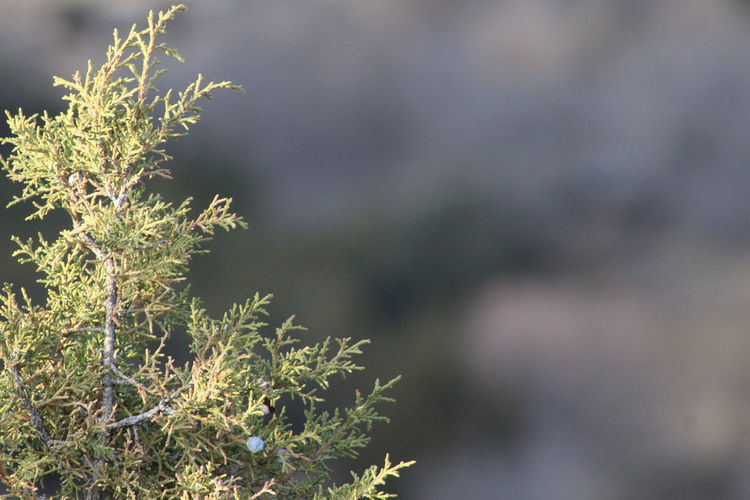 Close-up Beauty In Nature Outdoors Juniper Trees Beauty In Nature Wyoming Landscape Wyoming Distant Background Original Backgrounds