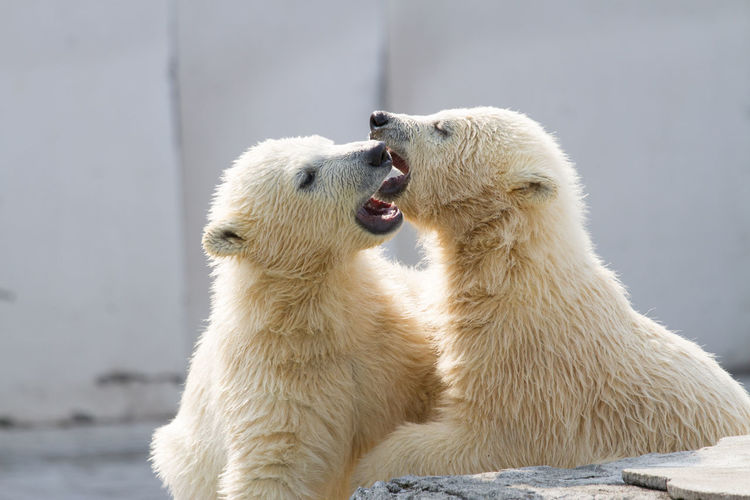 Polar Bear Cubs Playing At Zoo