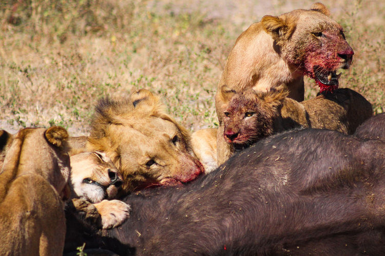 Lion family feeding dead buffalo on field during sunny day