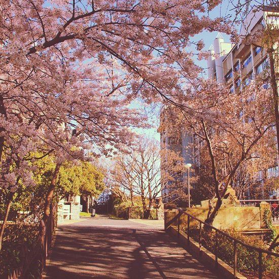 sakura way of the uni. love this land forever. University Otago Dunedin Sakura spring