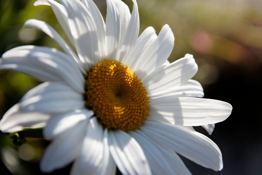 Beauty In Nature Blooming Cammomile Close-up Day Flower Flower Head Fragility Freshness Growth Nature No People Outdoors Plant White Color