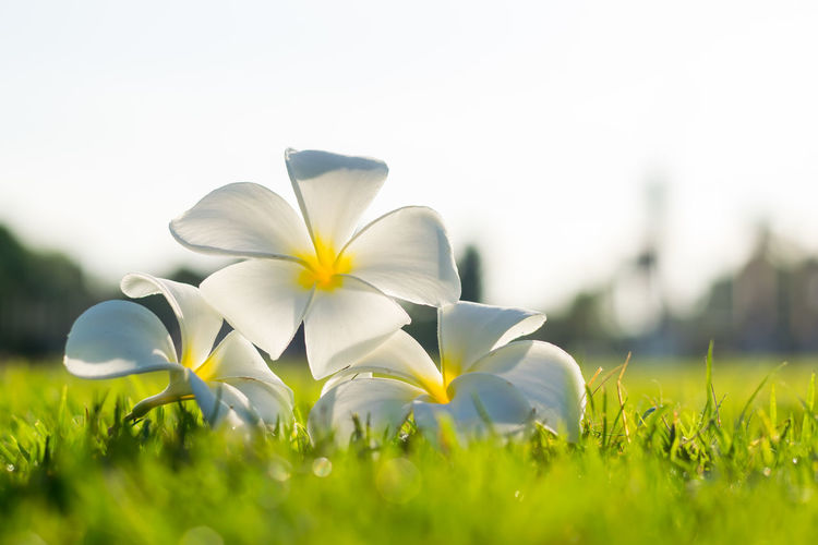 white flower on grass in morning tine Flower Head Flower Meadow Close-up Grass Sky Plant Petal Blossom Blooming Pollen