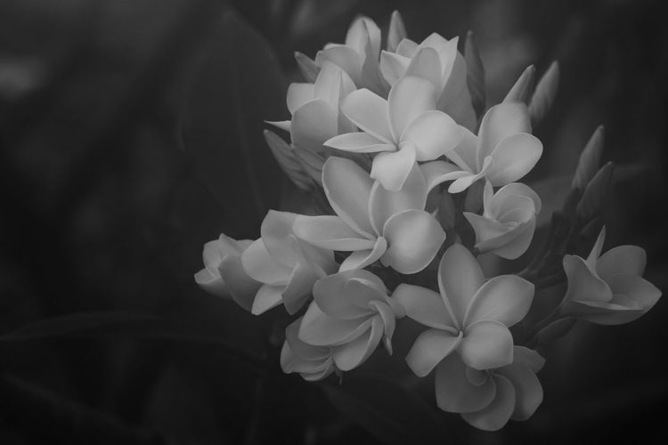 Plumeria Black
