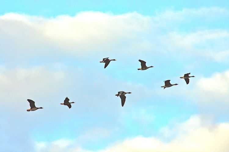 Flying Cloud - Sky Animal Themes Bird Sky Animal Group Of Animals Low Angle View Animals In The Wild Animal Wildlife Mid-air No People Spread Wings Day Large Group Of Animals Flock Of Birds Outdoors Motion Nature Ducks