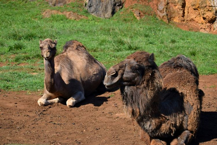 Camels relaxing on field during sunny day
