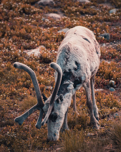 Reindeer eating in the forest