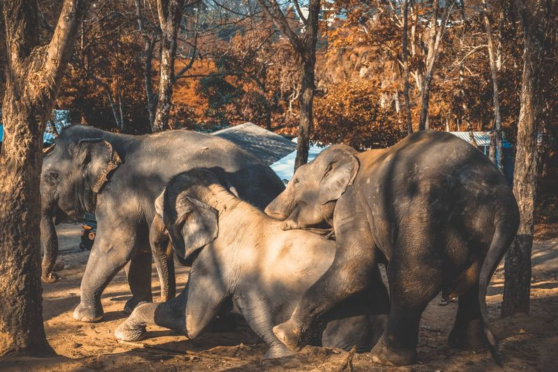 Elephants fighting at forest