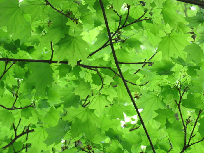 Green leafs Light Daylight Sunlight Leaf Tree Backgrounds Full Frame Branch Close-up Plant Green Color Leaves Forest Greenery Flora Vegetation Trunk Woods Plant Part
