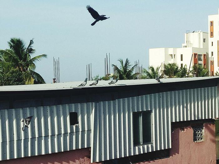 Birds Crown Fly, pigion Nature Taking Photos Relaxing Alandur Chennai