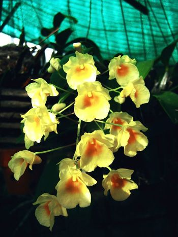 Orchids Nature Yellow Leaf Close-up Growth Beauty In Nature No People Plant Outdoors Tree Freshness Flower Head Fragility Day กล้วยไม้ที่บ้าน Samutprakarn In Thailand
