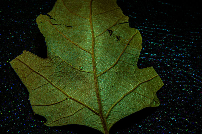High angle view of maple leaf against black background