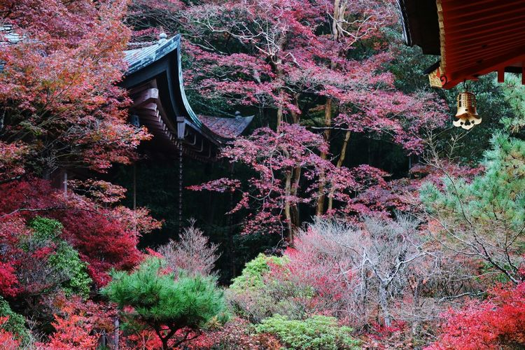 My Best Photo 2015Golden ringing fall Japanese Maple Japan Scenery Japanese Temple Kyoto, Japan Japanese Shrine Autumn Leafs Colors Of Autumn Colours Of Autumn Autumnbeauty Red Colorful Colors Travel Photography