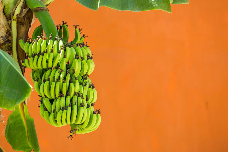 Close-Up Of Bananas Hanging In Tree