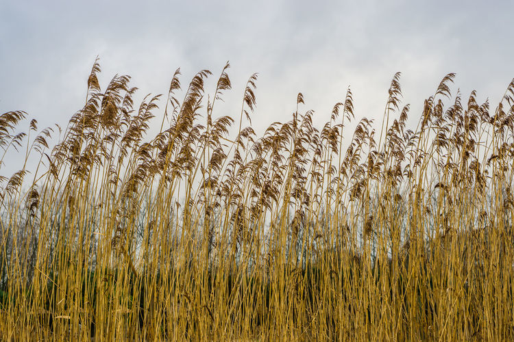 View of stalks in field against sky