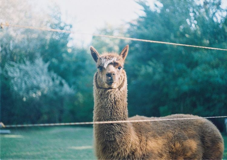 Portrait of llama on field