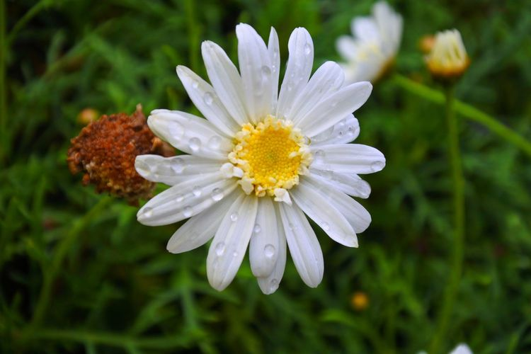 Flower White Flower Waterdrop Eyrem Flowers EyeEm Gallery Flowers, Nature And Beauty Flower Photography Flower Head Flower Botanical Garden Multi Colored Nature Reserve Plant Part Beauty Petal Outdoor Pursuit Uncultivated Daisy Gerbera Daisy Single Flower Coneflower Wildflower